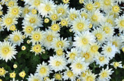 Aster Flower Prints - Simply White Yellow Buttons Aster Flowers Print by Debra  Miller