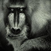 Mandrill Prints - Singapore Zoo, Mandrill Print by By Toonman