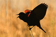 Blackbird Metal Prints - Singing at Sunset Metal Print by Betty LaRue