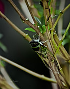 Cicada Photos - Singing Cicada by DigiArt Diaries by Vicky Browning