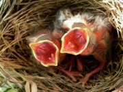 Baby Bird Photos - Singing for Supper - Digital Art by Al Powell Photography USA