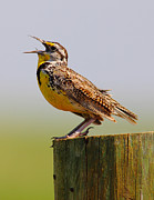 Bird; Meadow Acrylic Prints - Singing Meadowlark Acrylic Print by Robert Frederick