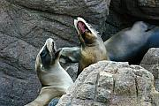 Sea Lions Framed Prints - Singing Sea Lions Framed Print by Anthony Jones