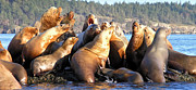 Hornby Island Photos - Singing Sea Lions by Derek Holzapfel