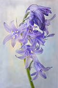 Hyacinthoides Non-scripta Posters - Single Bluebell Poster by Ann Garrett