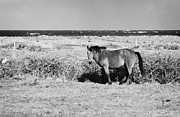 Republic Prints - Single Brown Horse In A Field Near The Coastline In County Sligo Republic Of Ireland Print by Joe Fox