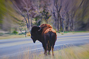Roaming Photo Posters - Single Buffalo in Yellowstone NP Poster by Susanne Van Hulst