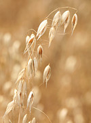 Oat Prints - Single ear of oats Print by Paul Cowan