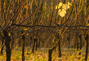 Pinot Noir Photos - Single leaf by Jean Noren