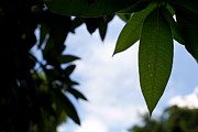 Mango Acrylic Prints - Single mango leaf silhouetted against the sky Acrylic Print by Anya Brewley schultheiss