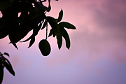 Mango Acrylic Prints - Single mango on a tree at twilight Acrylic Print by Anya Brewley schultheiss