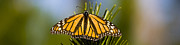 Panoramic - Single Monarch Butterfly by Darcy Michaelchuk