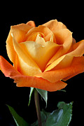 Single Metal Prints - Single Orange Rose Metal Print by Garry Gay
