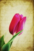 Tulips - Single Pink Tulip by Cathie Tyler