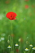 White Flower Photos - Single Poppy In Meadow by Matthias Wassermann
