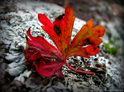 Prescott Prints - Single Red Leaf  Print by Aaron Burrows