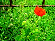 Amy Bradley - Single Red Poppy