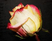 Peach Roses Prints - Single Rose two Print by Cathie Tyler
