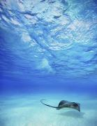 Seafloor Prints - Single Stingray 1 Print by Monica & Michael Sweet - Printscapes