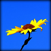 Floral Photographs Posters - Single Sunflower in Blue Background Poster by Tam Graff