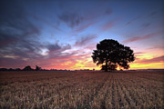 Corn Prints - Single Tree In Cornfield At Dawn Print by Justin Minns