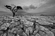 Single Tree Prints - Single Tree In Yorkshire Dales Print by Duncan George