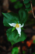 Wild-flower Posters - Single Trillium Poster by Donna Blackhall