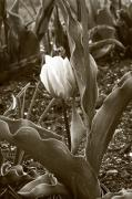 Floral Photo Originals - Single Tulip Sepia  by James Steele