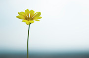 Provence Photos - Single Yellow Daisy On Sky And Sea by Alexandre Fundone