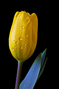 Floral Metal Prints - Single Yellow Tulip Metal Print by Garry Gay