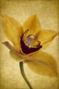 Orchid Framed Prints - Singular Sensation Framed Print by Rebecca Cozart