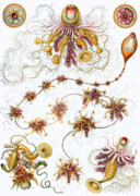 Wife Drawings Posters - Siphonophorae Poster by Ernst Haeckel