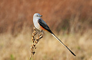 Flycatcher Metal Prints - Sissor-tailed Flycatcher 2 Metal Print by Betty LaRue