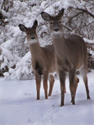 Whitetail Deer Posters - Sisters Poster by Scott Hovind
