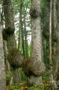 Woodlands Prints - Sitka Spruce Burls on the Olympic Coast Olympic National Park WA Print by Christine Till
