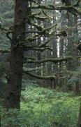 Sitka Photos - Sitka Spruce Forest At Fort Abercrombie by Rich Reid