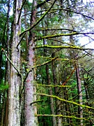 Pine Needles Prints - Sitka Trees 1 Print by Randall Weidner