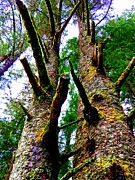 Pine Needles Prints - Sitka Trees 3 Print by Randall Weidner