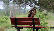 Wildlife Photography Pyrography Acrylic Prints - Sitting Eagle Acrylic Print by Whispering Feather Gallery