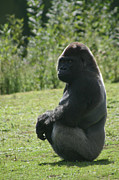 Carol Wright - Sitting Gorilla
