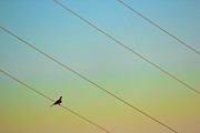 Power Photos - Sitting On Power Lines by Karol Franks