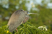Tricolored Heron Framed Prints - Sitting Pretty Framed Print by Carolyn Marshall