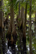 Florida Swamp Photos - Six Mile Cypress Swamp Florida by Joseph G Holland