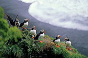 Rock Groups Photo Posters - Six puffins perched on a rock Poster by Sami Sarkis