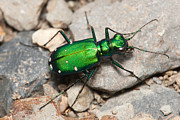 Beetle Art - Six-spotted Tiger Beetle by Clarence Holmes