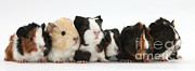 House Pets Posters - Six Young Guinea Pigs In A Row Poster by Mark Taylor