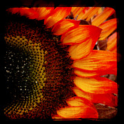 Yellow And Orange Sunflower Prints - Sizzle Print by Sharon Coty
