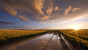 Flowers Field Prints - Skagit Sunset Reflected Print by Mike Reid