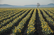 In A Row Art - Skagit Valley Daffodils by Dene