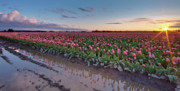 Mount Vernon Posters - Skagit Valley Tulip Reflections Poster by Mike Reid